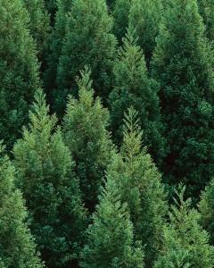 Japanese Cedar Forest